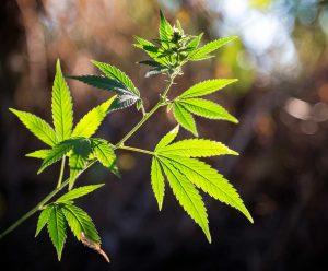大麻油 CBDオイル