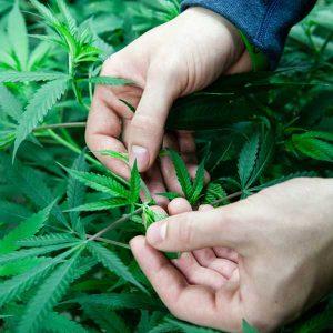 コロラド州有機農家栽培の大麻草